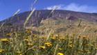 Cespi di tanaceto nell'Altipiano della Galvarina - © pietronicosia.it