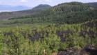 Il pino laricio inizia a colonizzare le lave relativamente recenti del versante Ovest - © pietronicosia.it