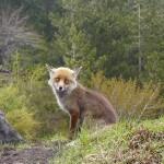 Esche killer alla Galvarina, la volpe morta non è stata avvelenata