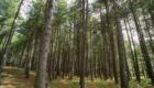 Un'area caratterizzata dal pino laricio - © pietronicosia.it