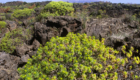 Euforbia arborea - © pietronicosia.it