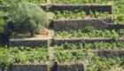 Vigneto terrazzato © pietronicosia.it