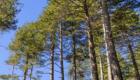 Bosco di pino laricio - © pietronicosia.it