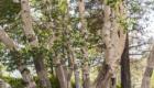 Betulla dell'Etna - © pietronicosia.it