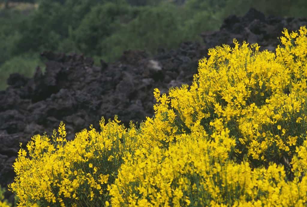 Arbusto Boschivo Dai Fiori Gialli.Etna La Vegetazione Etnalife