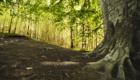 Un faggio di grandi dimensioni - © pietronicosia.it