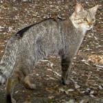 Al via progetto di conservazione del gatto selvatico