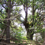 Tagliano querce secolari nel Parco dell'Etna: presi dai Carabinieri