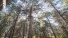Al centro lo Zappinazzu, il pino più antico dell'Etna - © pietronicosia.it