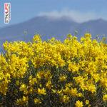 """Etna, domenica l'inaugurazione del primo tratto del """"Sentiero delle ginestre"""""""
