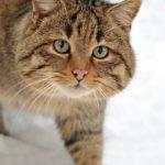 Il gatto selvatico re dell'Etna