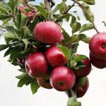 Ottobrata, la terza domenica dedicata alle mele dell'Etna